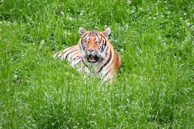 フィールドに横たわっている静かなトラ
