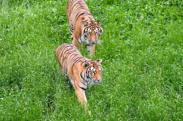 Quiet tigers lying in the field