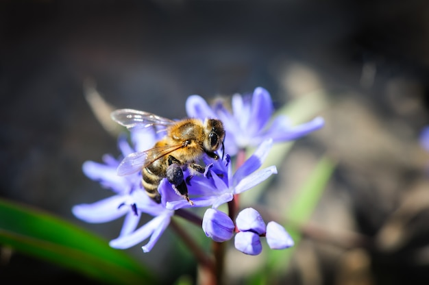 Quill or scilla with bee