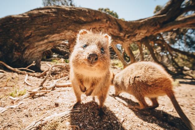 카메라를 엄격하게 바라보는 호주 야생의 쿼카