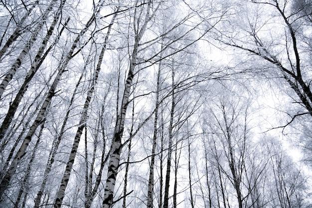 冬の白rの木