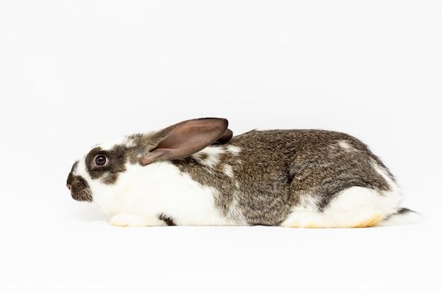 白い背景の前のウサギ(11ヶ月)