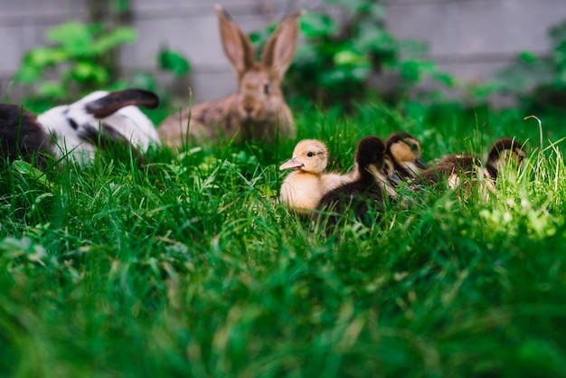 Rabbit and ducklings on green grass