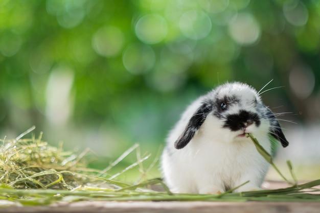 Кролик ест траву, домашнее животное кролика, голландский лопух