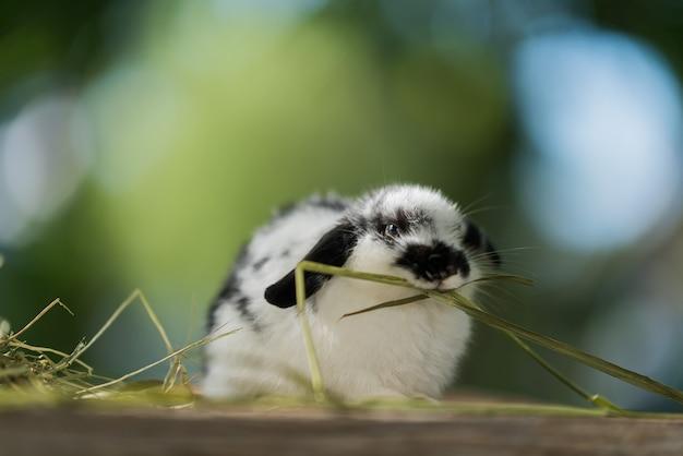 Кролик ест траву с фоном боке, кролик домашнее животное, голландия лоп