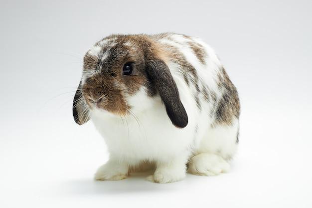 白い背景の上のウサギホーランドロップ。