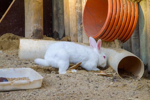 브라질 리우데자네이루 농장의 토끼.