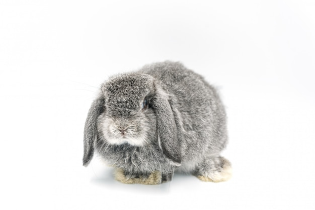 Rabbit on white background, bunny pet, holland lop
