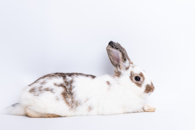 Rabbit, white-brown fur its long ears and sparkle eyes, lying