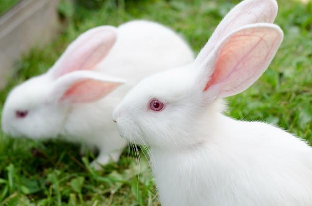 生後2か月のウサギの白い小さな、緑の草の囲いの中で巨大なシディンを繁殖させます。自然の景観、選択的な焦点