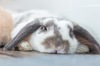 Rabbit with brown and white Lovely lying on the floor. Split on a white background.