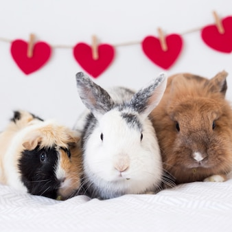 Rabbits and guinea pig near row of decorative red hearts on twist