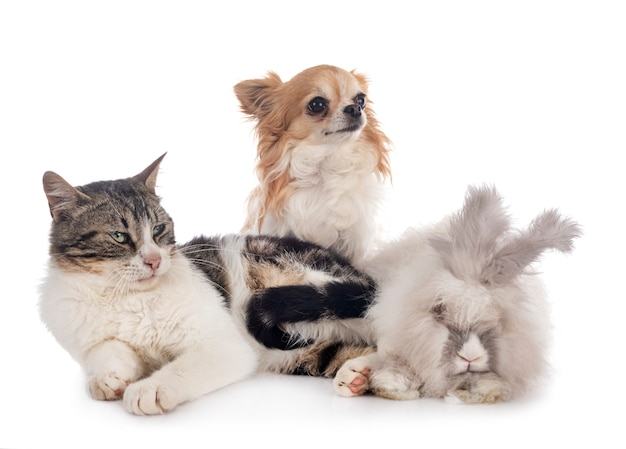 Rabit, cat and chihuahua