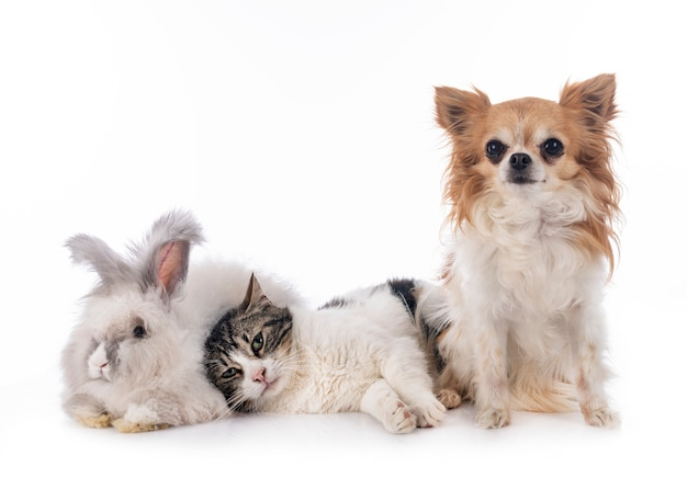Rabit, cat and chihuahua