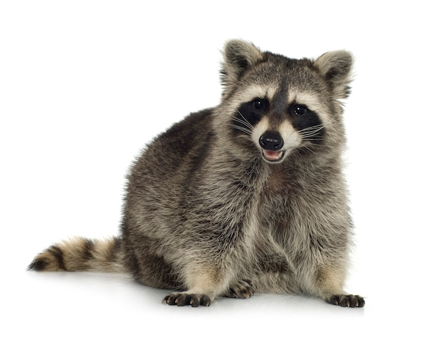 Raccoon (9 months) - procyon lotor isolated