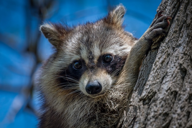 Raccoon by a trunk
