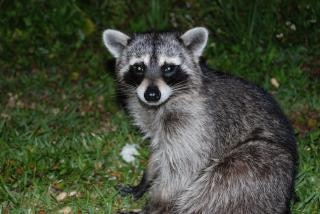 Raccoon, cuddly