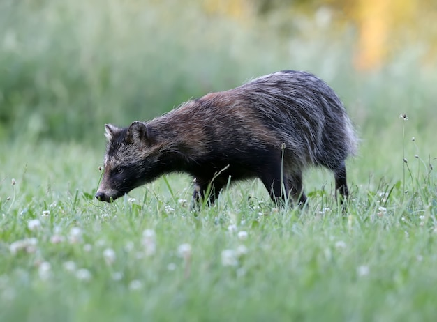 The raccoon dog (nyctereutes procenoides) are walking on the ground in search of food