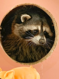 A raccoon looks out of his house