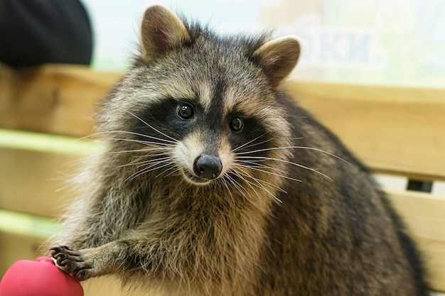 Raccoon (procyon lotor), also known as the north american raccoon close up. human like expression on the animal face