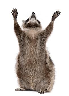 Raccoon, reaching up