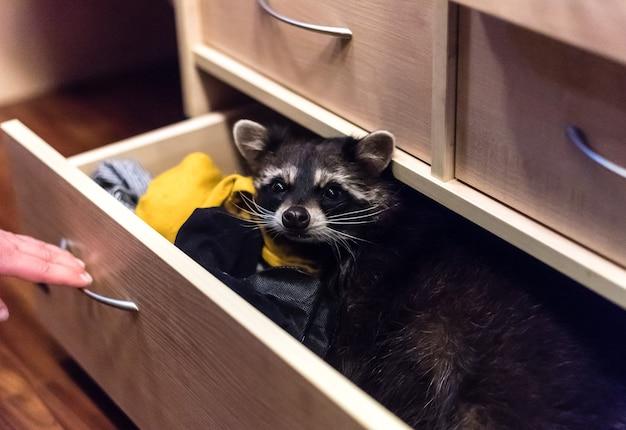 옷장 서랍에 앉아있는 너구리