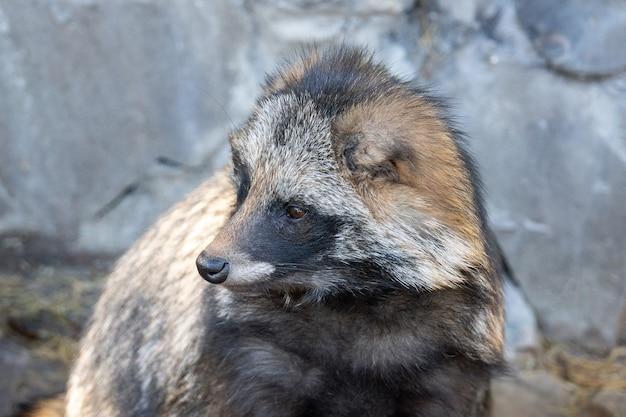 Raccoon on stone