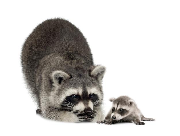 アライグマと彼女の赤ちゃん-分離されたプロキオンロータ