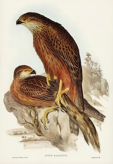 Radiated goshawk (astur radintus) illustrated by elizabeth gould