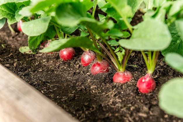 Radish plant in garden soil