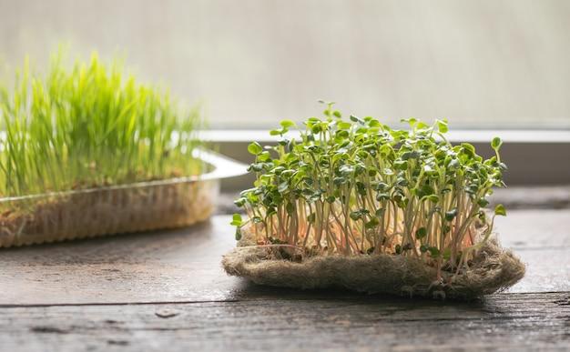 무 발아 microgreens. 집에서 종자 발아. 채식주의 자 및 건강한 식생활 개념. 녹색 생활 개념. 유기농 식품.