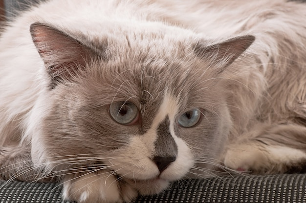 Ragdoll breed of cat face close-up
