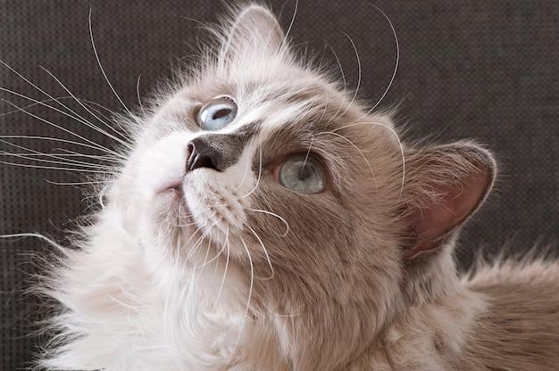 猫の顔のクローズアップのラグドール品種