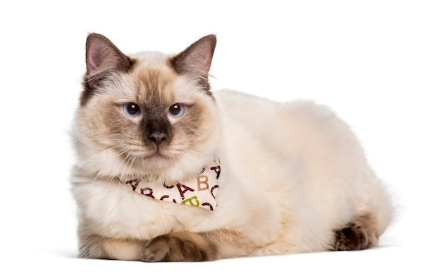 Ragdoll cat looking at camera against white background