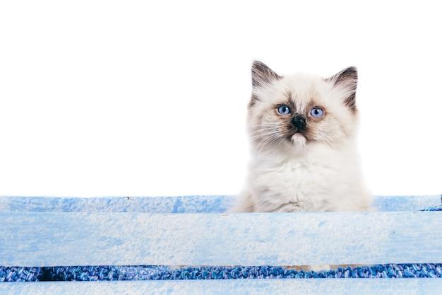 Рэгдолл кошка, маленький портрет котенка на белом фоне