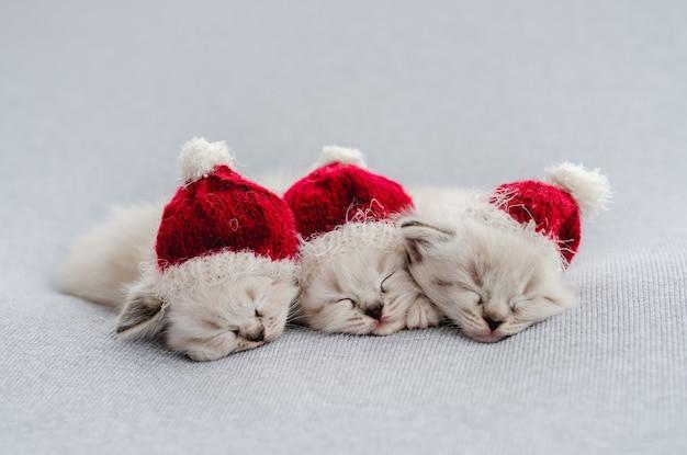 Фото котят рэгдолл в стиле новорожденных