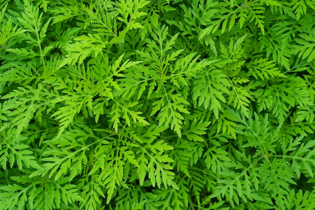 Ragweed, ambrosia weed, texture, background a close-up on dangerous plant ragweed pollen, ambrosia shrubs that causes allergic reactions