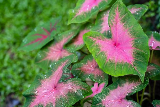 Капля дождя на фоне листьев каладиум биколор