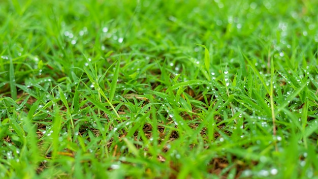 Rain drops of dew on green grass in nature spring background.