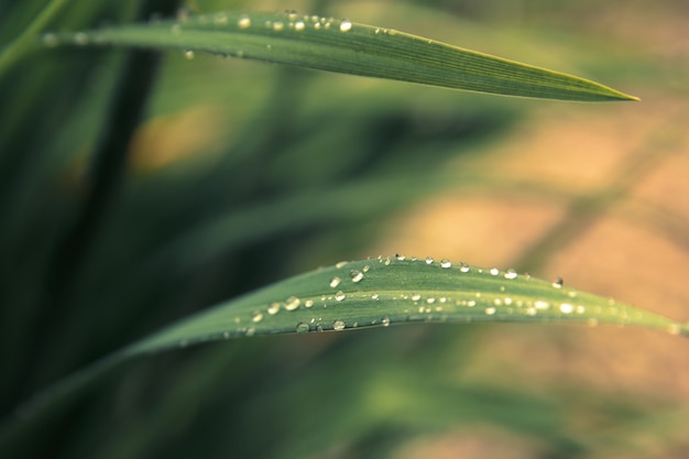 Rain drops on fresh green grass in the rays of the setting sun.green background with grass