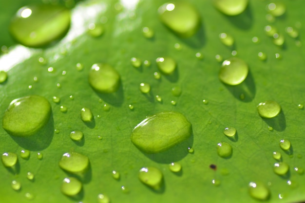 Rain drops on green lotus leaf closeup