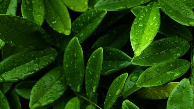 비오는 계절 배경에서 비 후 어두운 단풍 녹색 잎에 비 방울 프리미엄 사진