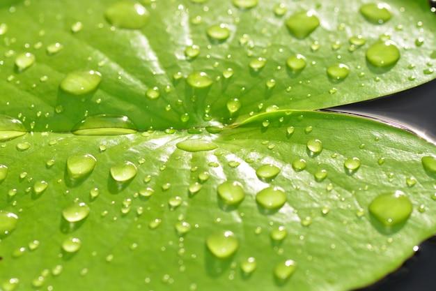 Капли дождя на листьях зеленого листа лотоса