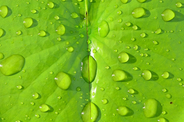 Дождь падает на зеленый лист лотоса