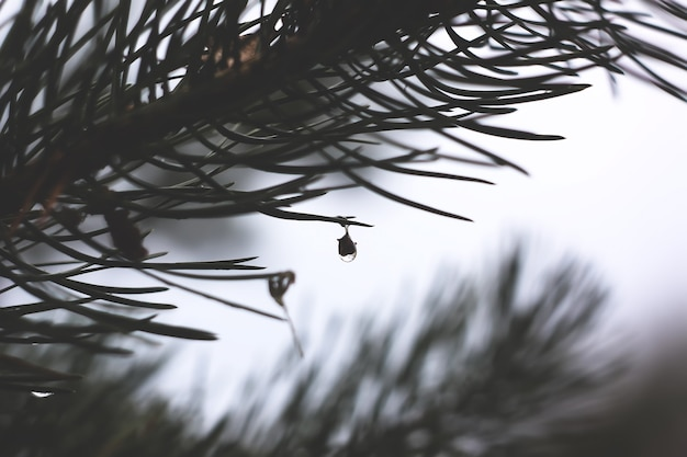 Капли дождя на сосновых ветках