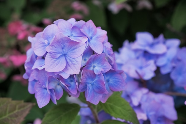 Цветок гортензии голубой и листья зеленого цвета с падениями после rain.hydrangea зацветает летом в цветочном саде.