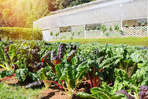 Rainbow chard growing on a vegetable patch with greenhouse background