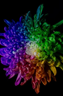 Rainbow colored dahlia.