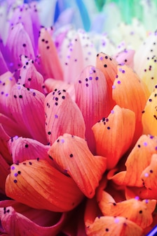 Rainbow colored dahlias petals.