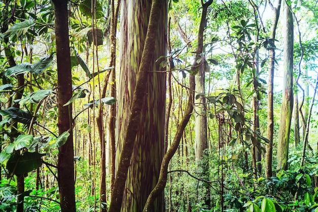 ハワイ、マウイ島のレインボーユーカリの木